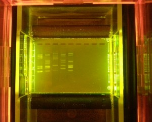 gel, electrorphoresis, classroom, dna, minione, lab, biology, high school,