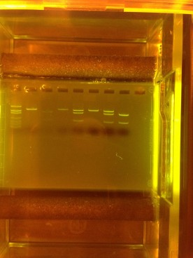 Project Lead the Way - Edvotek Agarose Gel - The MiniOne
