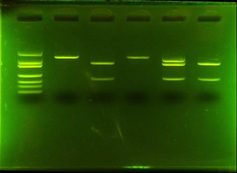 Gel from lab 118
