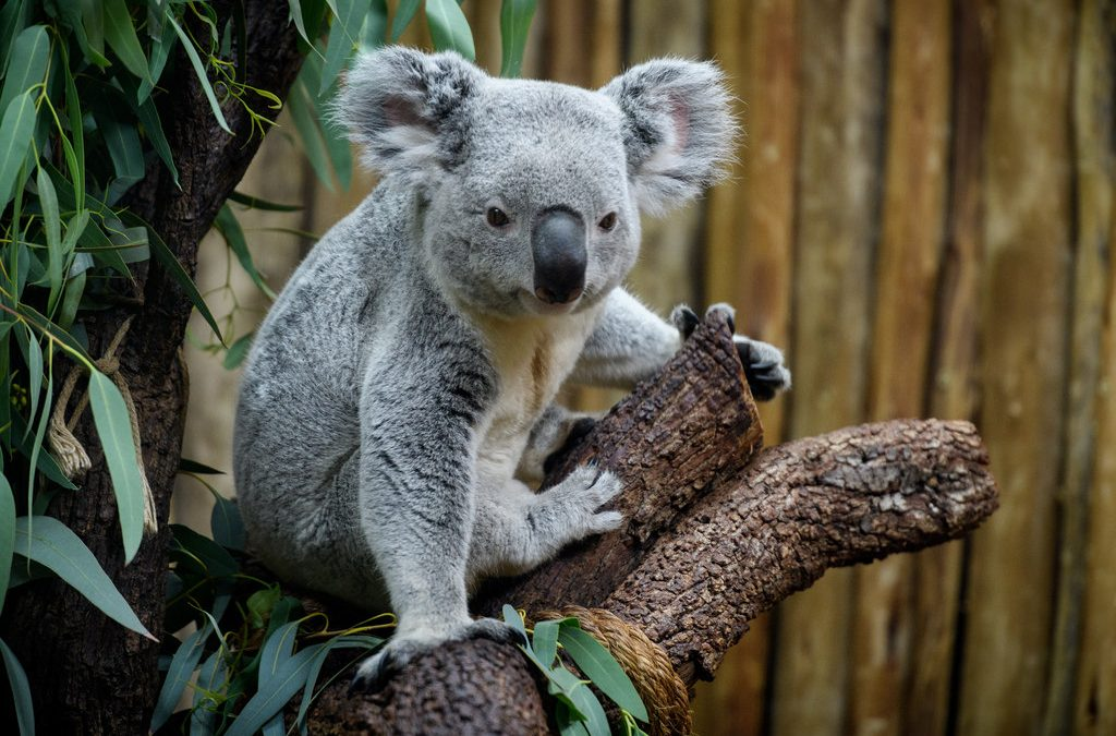 Teaching Evolution? Koala Genome Reveals Unique Adaptations